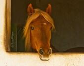 Horse Art equine fine art photography red chestnut flaxen mane Paso Fino Stallion southwestern decor Spanish  FastWinn Photography Tucson AZ