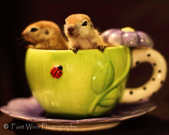Photograph of  2 cute round tail squirrels in a spring green tea cup -