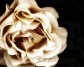 Pale Rose : rose sepia vintage antique petal cream brown photography monochrome image faded flower home decor 8x10 11x14 16x20 20x24 24x30