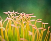 Waiting for the Sun : tropical flower photography pink yellow green protea hawaii macro summer home decor 8x10 11x14 16x20 20x24 24x30
