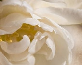 cream tulip photography, 8x8 print, square, nature, flower, petals, close-up, ivory, white, yellow, fringe, textured