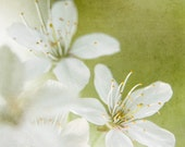 white cherry blossom photography, 8x8 print, square, nature, flower, pear green, cream, yellow, textured