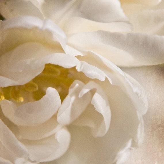 cream tulip photography, 8x8 print, square, nature, flower, petals, close-up, ivory, white, yellow, fringe, textured