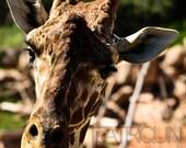 Giraffe In Your Face 8x10 matte photograph