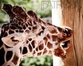 Giraffe Make out Sesh 8x10 matte photograph