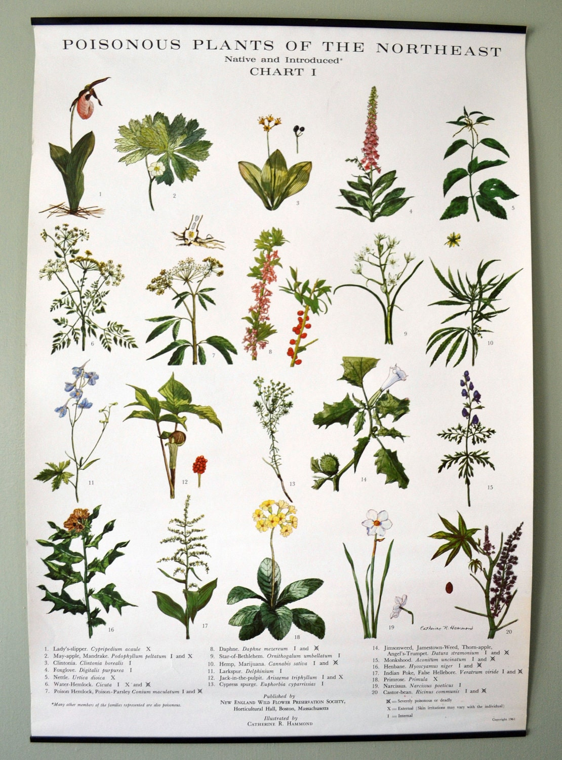 Vintage Wall Chart Poisonous Plants Of New England