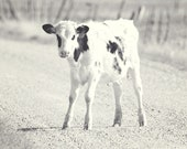 Black and White Cute Calf Photograph, Black and White Farm Photography, Animal Photo, Cow