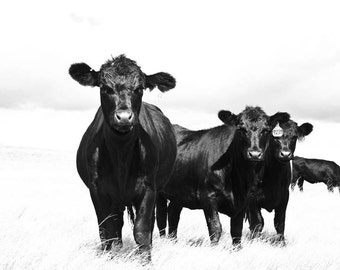 Black and White Sky Cattle Photograph, Farm Photo, Cattle and White, Country Photography