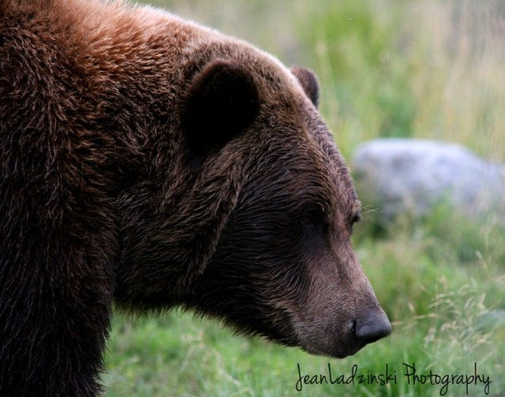 11x14 Photography print of an Alaskan Brown Bear - grizzly bear Alaska art wildlife photo - Affordable Art rustic cottage gift idea for him