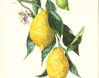 Lemons And Oranges On Tree Vines Art Prints  1959-1960 set of 2
