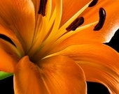 Flower Photography, Tiger Lily,  Fine Art Color Photography