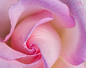 Pink Rose , Nature Photography, Fine Art Photography