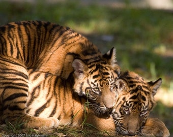 Sumatran Tiger Cubs at Play, Fine Art Photography, Nature Photography