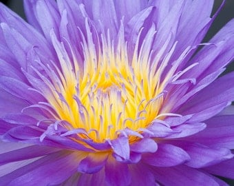 Flower Art, Purple Water Lily, Fine Art Photography, Flower Photography