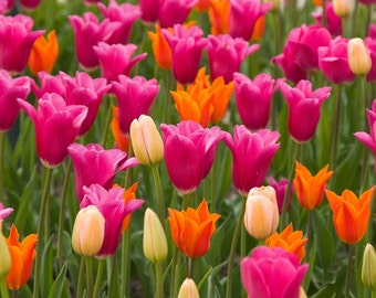 Field of Tulips, Fine Art Photography, Nature, Flower, Floral Photography