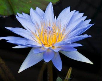 Blue Water Lily, Fine Art Photography, Nature, Flower, Floral Photography