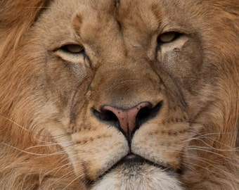 Nature Art, Lion, Fine Art Photography, Nature Photography