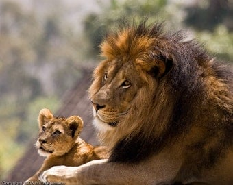 Father and Son Lions 5x7 Mounted Color Fine Art Photograph