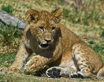 Lion Cub At Play,  Fine Art Color Photograph