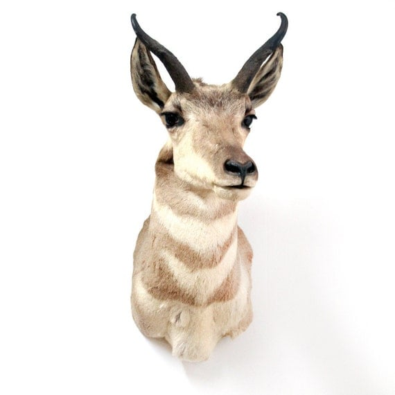 vintage pronghorn antelope shoulder mount taxidermy