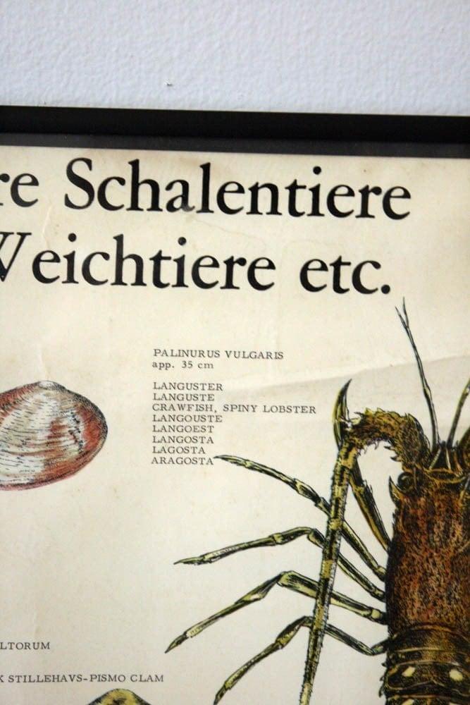 Vintage Science Marine Biology Crustaceans Wall Chart W Frame