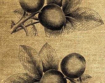 INSTANT DOWNLOAD - Vintage Walnut Illustration - Download and Print - Image Transfer - Digital Sheet by Room29 - Sheet no. 102