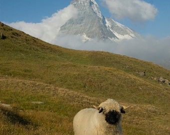 sheep photograph, animal photography, matterhorn landscape, mountain sheep running prancing, switzerland art