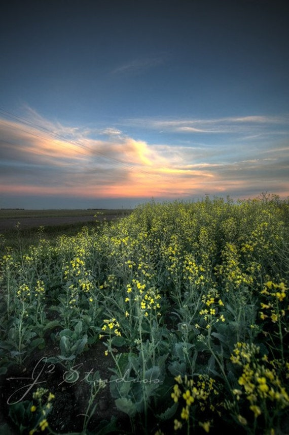 canola photo, sunset photography, art print, summer landscape, canola field, canadian prairies, fine art