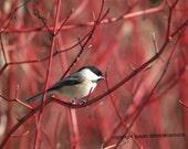 Bird photograph, Chickadee on Dogwood, blank card, write your own message, bird lovers, nature photograph