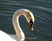 Swan card, bird photography, blank inside, write your own message, Elegant Swan, white, blue, orange, nature, wildlife