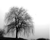 Scenery black and white photograph, Willow in Fog, Scarborough Bluffs, Toronto, Canada, Bluffers Park, gift 30, home office decor