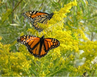 Monarchs on Goldenrod - Butterfly greeting blank card, write your own msg, 5 x 7, blank, yellow, orange, flower, golden, sunshine, green