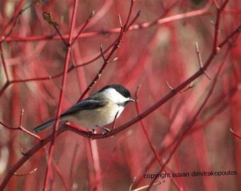 Bird chickadee card, Chickadee on Dogwood photograph, blank card write your own msg, cranberry, red, tan, tree, black, white