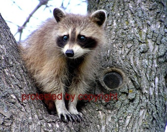 Raccoon card, wildlife photograph, Raccoon Lookout  - blank card, write your own message, bandit, mask, wildlife, humorous, friendship