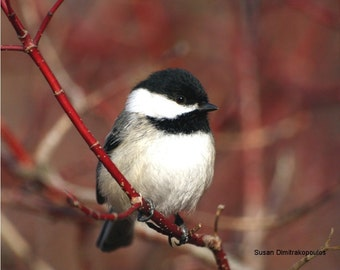 Bird photograph, Chickadee - greeting card, blank, write own message, feathers, winter, red, branches, cranberry, dogwood, black, white