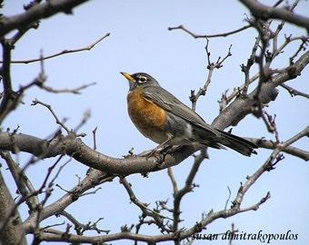 Bird card, wildlife, Spring Robin - robin photograph, blank card, write your own msg, red, rust, spring, bird lovers card
