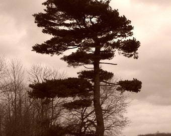 Tree Wall Art Beare Beauty Home Office Decor Gift 20 Landscape Pine Evergreen Tree Sepia Fine Art photo Canadian Scenery Tom Thomson