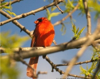 Bird cardinal card, Summer Cardinal, blank card, write your own msg, red, shade, friendship