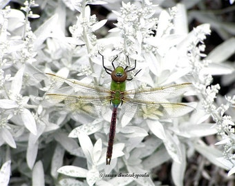 Dragonfly card or print, nice story about this photo, Dragonfly on White Flowers, write your own msg, nature lovers