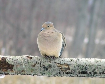 Mourning Dove, wall art, home cottage decor, gift 20, fine art photograph, bird lovers, dove, spring