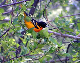 Baltimore (Northern) Oriole - nature, wall art, gift 20, home decor, fine art photograph or greeting cards, bird, feathers, orange, black