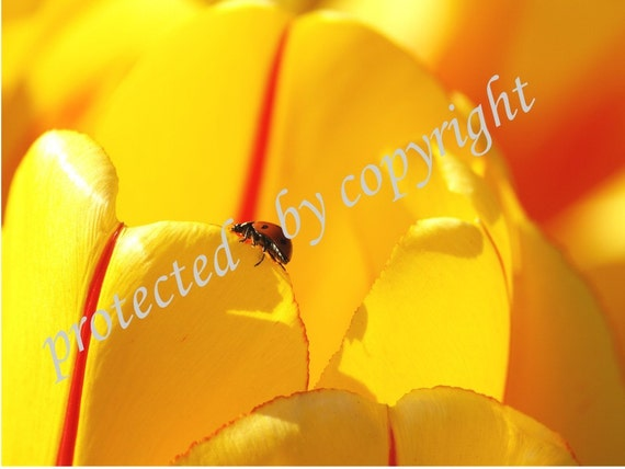 Ladybug - The Journey - home decor, fine art  print, spring, summer, insect, yellow, tulip, wall art, nature