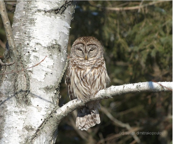 Owl photograph, Sleepy Barred Owl, owl lovers gift, nature photo, bird lovers gift, home cottage decor, goth, silverbirch tree, gift 20