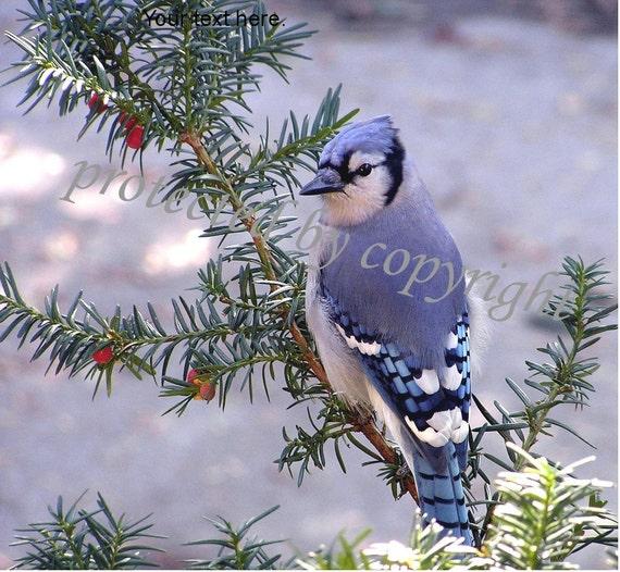 Bird Photograph, Blue Jay, blank card, write your own message, bird nature lover