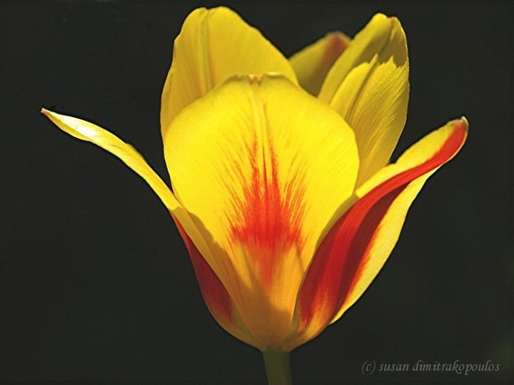 Tulip - Splash - fine art print photograph, wall art, gift 20, home office decor, spring flower, garden, yellow, red, paint, black, sun