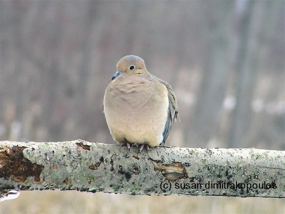 Mourning Dove, home cottage decor, gift 30, fine art photograph or greeting cards, bird lovers, dove