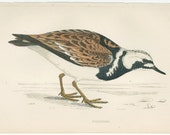 Vintage Bird Print Birds of the Sea Botanical Bird Plate Turnstone, by  Francis O. Morris, A History of British Birds