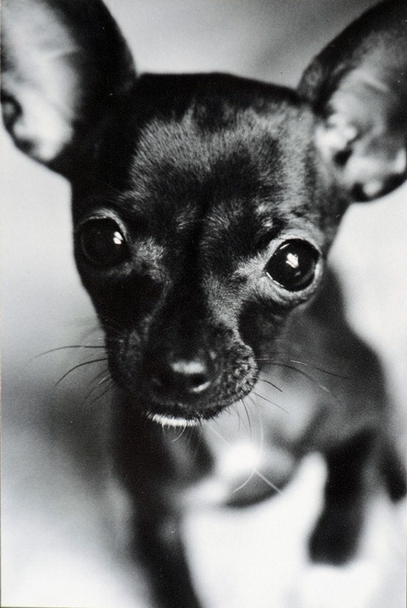 chihuahua black and white chihuahua black and white signed original print 6146