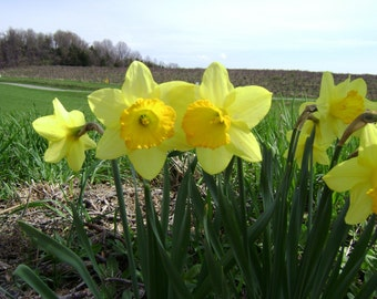 Daffodill Friends Photo