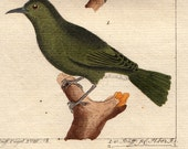 Beautiful 1779 very ancient BIRD engraving by BUFFON, hand-colored and hand-made paper, two green birds on a branch